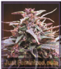 Ace Seeds Purple Haze x Malawi Killer Fem 5 Seeds